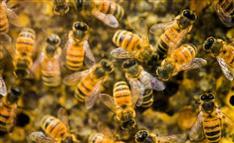 ミツバチの群れが巣箱から次々と消えていく 世界で頻発するナゾ