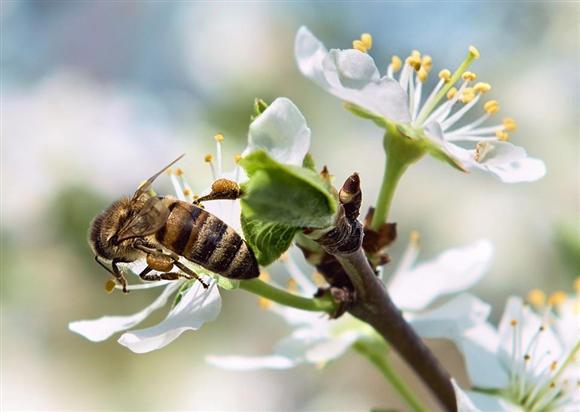 サクランボの花で受粉させるミツバチ