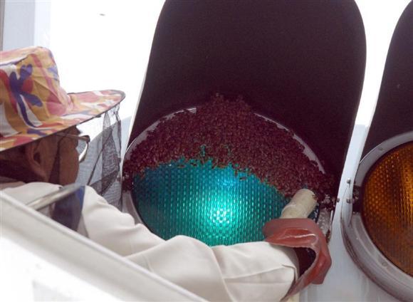 街中でのミツバチの大量発生は過去にもあり、混乱を引き起こしている。2007年5月、京都市内で信号機に群がった際は「青」の表示が見づらくなった=京都市下京区