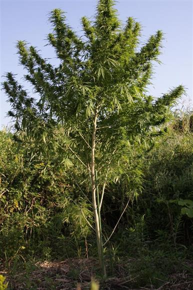 日本国内でひそかに栽培され、約2.5メートルまで成育した大麻草。海外での大麻解禁や危険ドラッグの入手困難より、近年は大麻関連事件の摘発が増加傾向にある