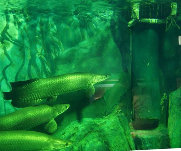 ピラルク(左下)のエサだった金魚が脱出したとみられる排水口(右上)