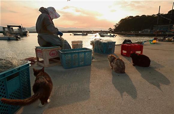 """宮城県・石巻沖の田代島は、多くの猫がのびのびと暮らす「元祖・猫島」として賑わっていたが、震災で被害を受けた。島を心配した人々が募金活動を行い、わずか3カ月で目標額1億5千万円が集まるという""""猫の手パワー""""が話題になった。"""