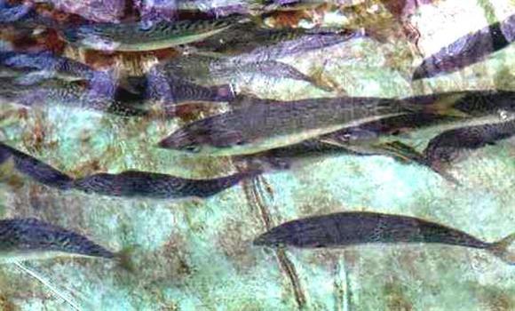 地下海水で陸上養殖されている「お嬢サバ」