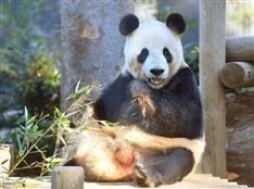 パンダに恋の季節 上野動物園で繁殖準備