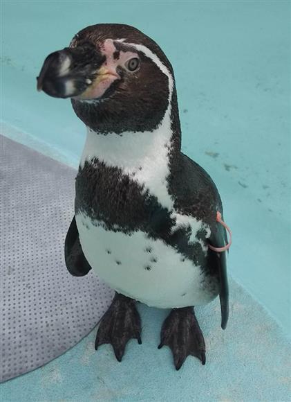フンボルトペンギンのトット