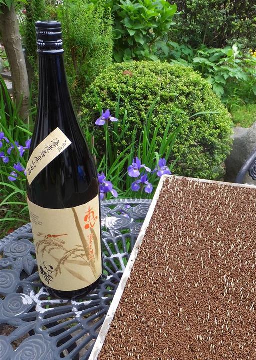 初夏の田植えを待つ山田錦の芽(右手前)。およそ1年後に低精米酒として出荷される=神奈川県海老名市の泉橋酒造