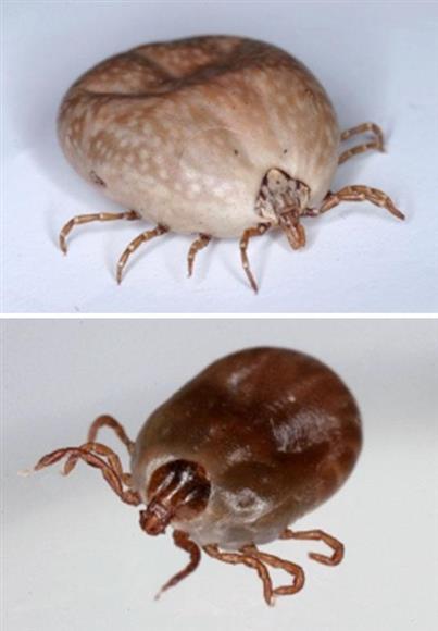 SFTSウイルスを媒介するタカサゴキララマダニ(上)とフタトゲチマダニ(国立感染症研究所提供)