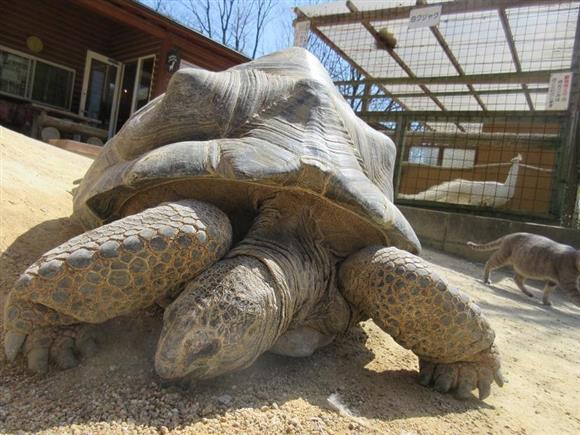 渋川動物公園 ゾウガメ に対する画像結果