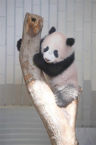 一般公開を前に報道公開されたジャイアントパンダのシャンシャン=18日午前11時10分、東京都台東区の上野動物園(代表撮影)