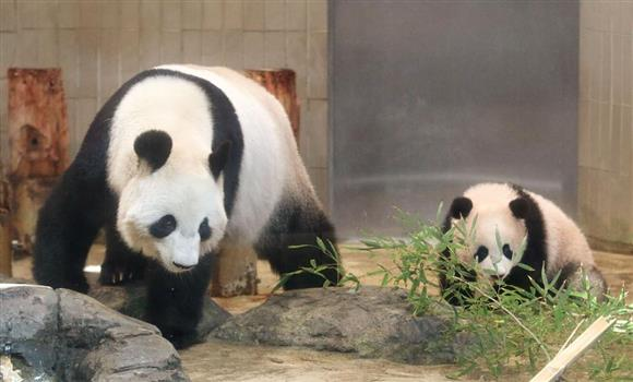関係者にお披露目されたシャンシャン。左は母親のシンシン=18日午前、東京・上野動物園(代表撮影)
