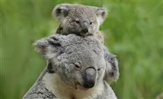 コアラ再び安楽死の危機 「絶滅危惧」の一方で「過密」のワケ